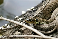 HolderGrass Snake