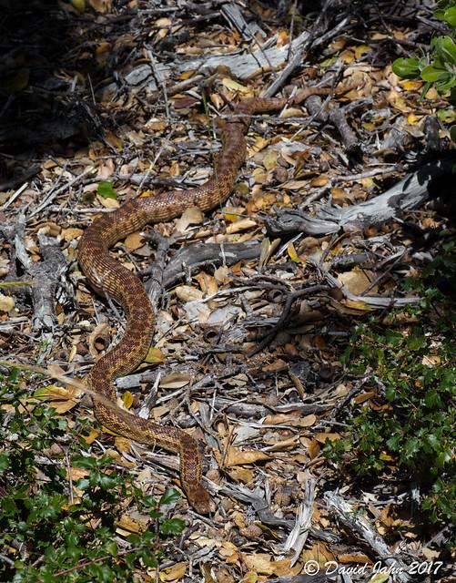 Basking Gopher Snake