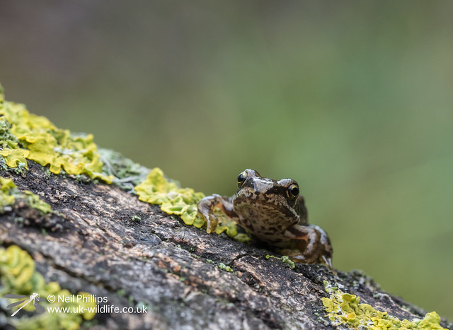 Common froglet