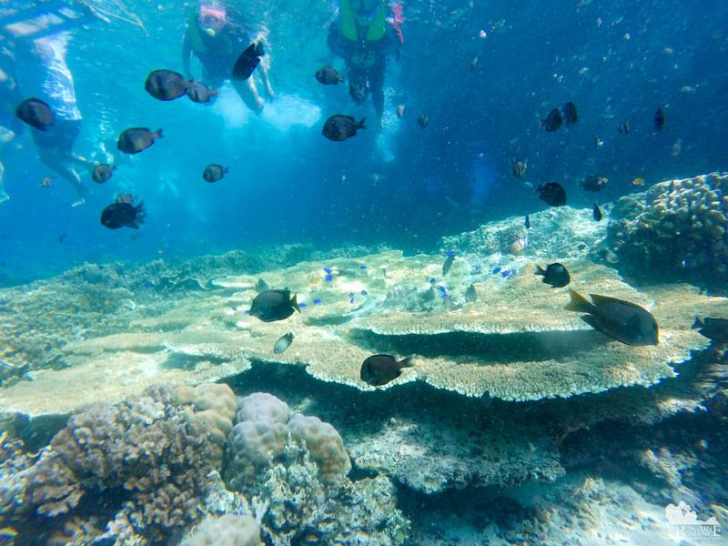 Table Coral in Pescador Island