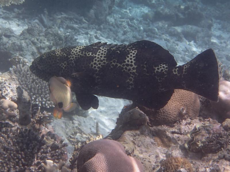 Malabar grouper_малабарский морской окунь_P8060252+