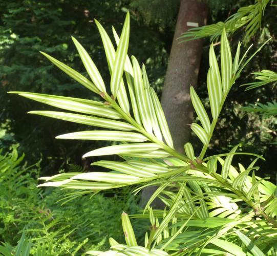 Amentotaxus argotaenia 36848246992_2a787c9cee_o