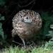 Common Pheasant  -  Fasan