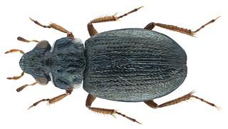 Ochthebius opacipennis Champion, 1920