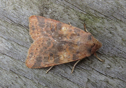 Dusky-lemon Sallow Agrochola lota Tophill Low NR, East Yorkshire September 2017