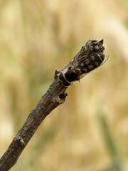 Scaeva octomaculatus