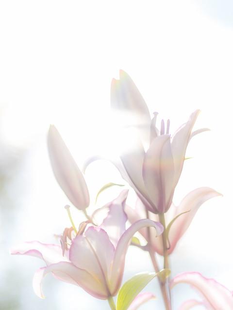 Oriental Lily, Nikon D810, AF Nikkor 85mm f/1.8D