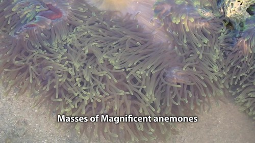 Terumbu Semakau reef with masses of Magnificent sea anemone (Heteractis magnifica)