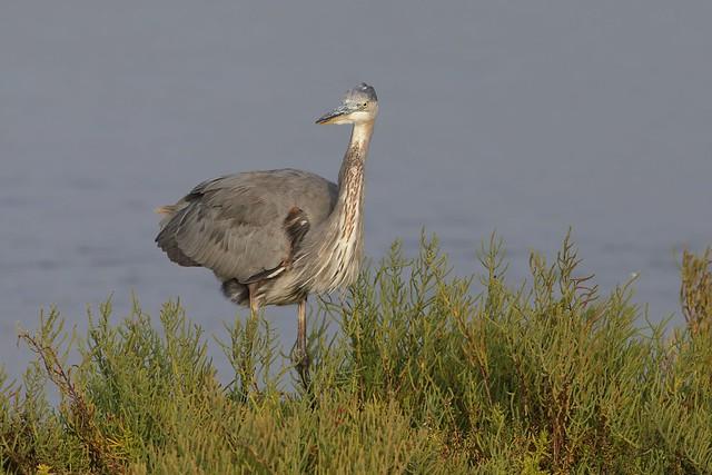 1DX12357 View Large. Great Blue Heron. Bolsa Chica, Huntington Beach California