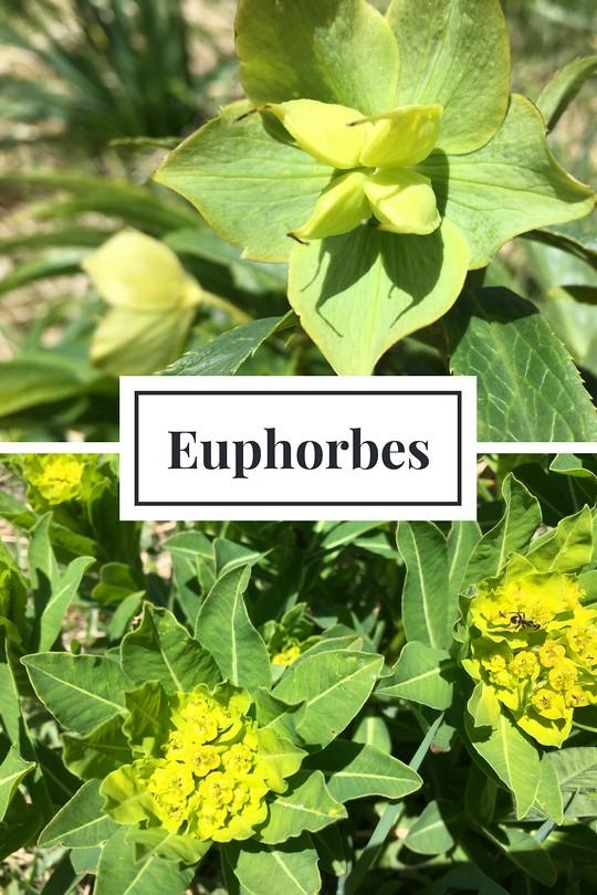 14_Euphorbes