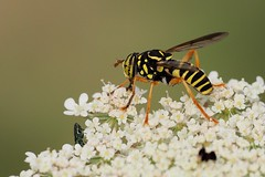 Spilomyia saltuum, Villeneuve-de-Berg, Ardèche, France