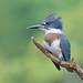 Belted Kingfisher - Martin-pêcheur d'Amérique - Megaceryle alcyon by Maxime Legare-Vezina