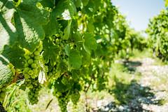 Vine Of Hope