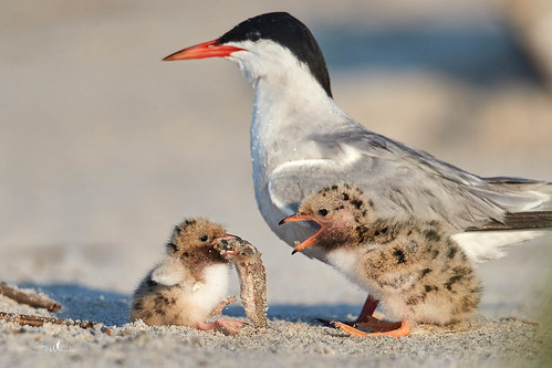 Sometimes the Little Guy Wins! Common Terns