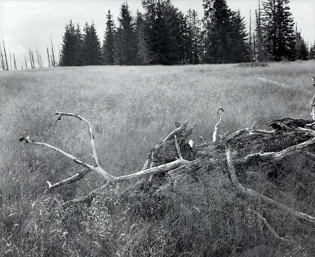 Dead tree in the grass