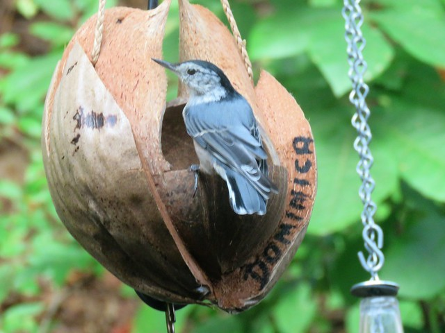 Nuthatch Discovers the Coconut Shell Lovebirds Feeder