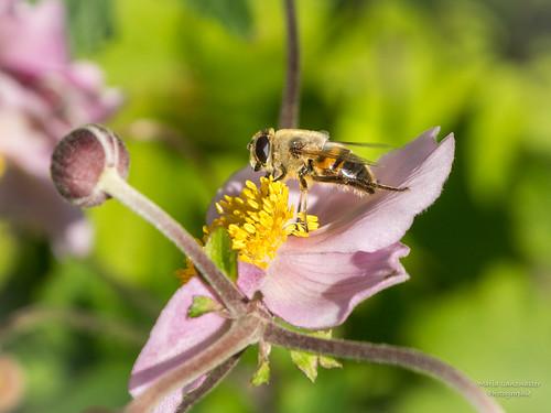 Pollensammlerin auf Herbstanemone