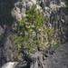 Pine Tree on the South Rim Trail (Yellowstone National Park) by Kᵉⁿ Lᵃⁿᵉ