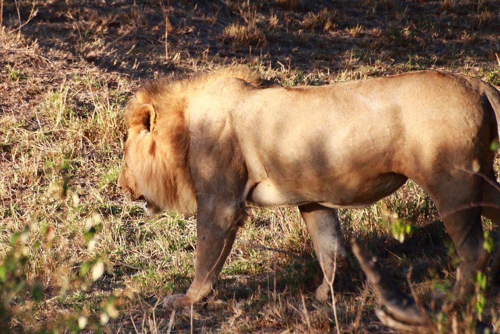 Lion, male!