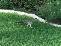 Roadrunner in front yard