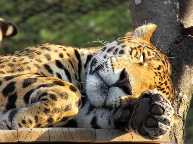 Jaguar01
