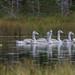 Laulujoutsenet 2 - Whooper swans 2
