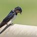 Sad swallow