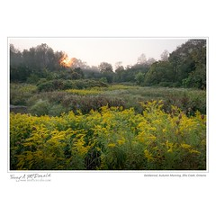 Goldenrod, Autumn Morning, Ellis Creek, Ontario