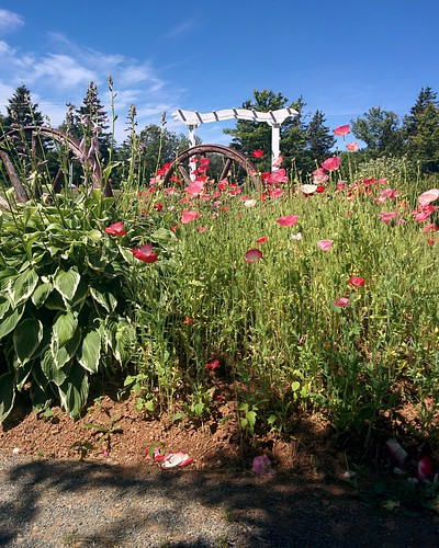 Gardens of Avonlea Village (4) #pei #princeedwardisland #cavendish #avonleavillage #garden #flowers #poppies #red #pink