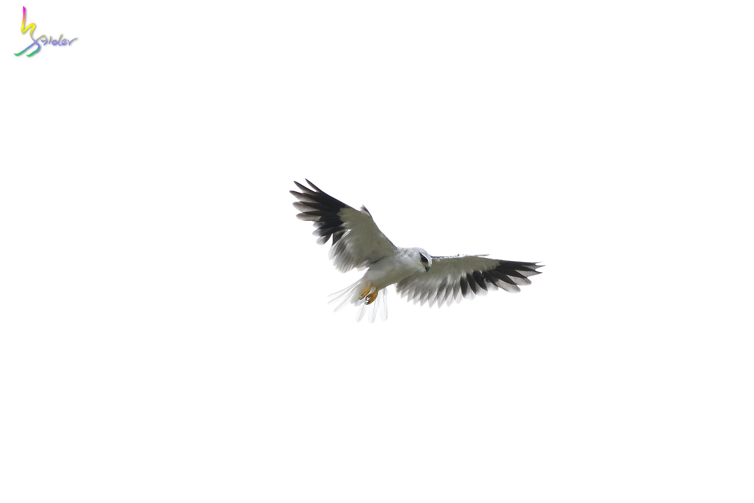 Black-winged_kite_5675
