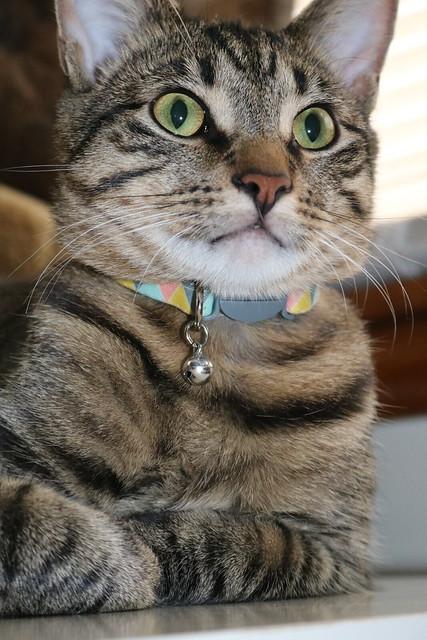 Jasper - Cat Loaf