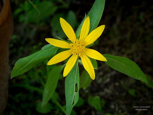 Sonnenblume im Schatten