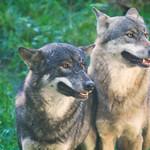 2017-10-01_15-20-02 - 2 Brüder - Wölfe