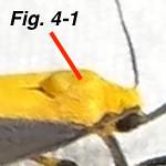 Fig 4-1 Cisthene picta TX911893-Hendrickson-BG