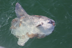 Mola Mola (Ocean Sunfish) seen Sept 16th