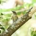 Small photo of American Redstart