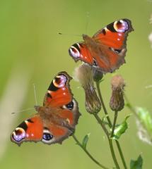 Butterflies - British Isles