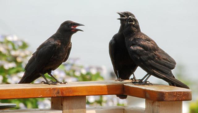 overheated crow family through door screen 1