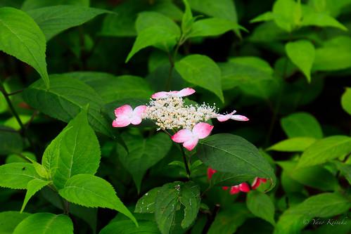 hydrangea 紫陽花 flower 花 obihiro 帯広 hokkaido 北海道 japan 日本 garden 庭園 manabegarden 真鍋庭園