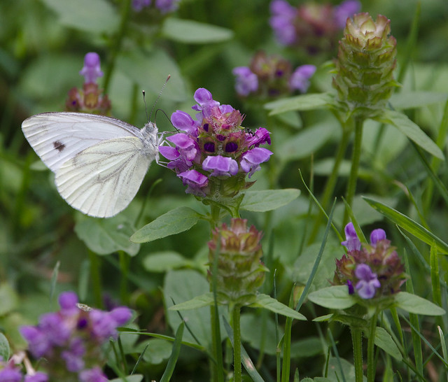 Small white on self-heal/Braunelle