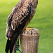 International Birds of Prey Centre (79)