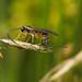 Ichneumonoid wasp ovipositing