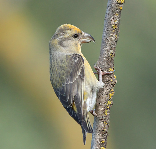 CROSSBILL ...Female....Spain