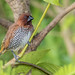 Small photo of Scaly Breasted Munia