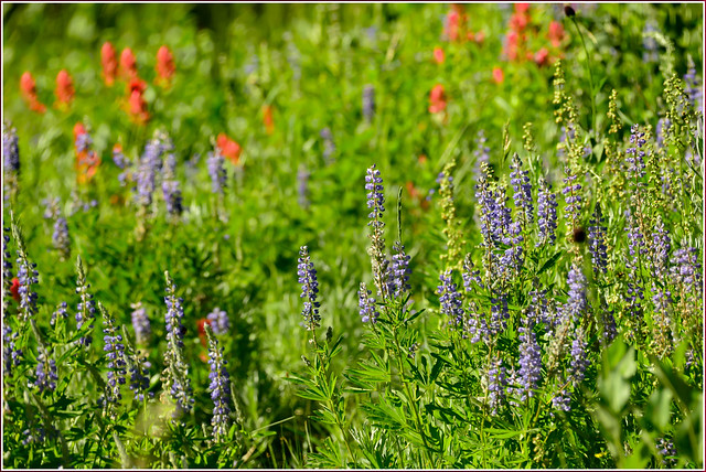 Lupine & Paintbrush
