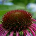 2017 08 05 - pink echinacea 2
