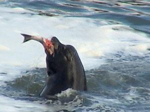 sealion_gobbeling_salmon