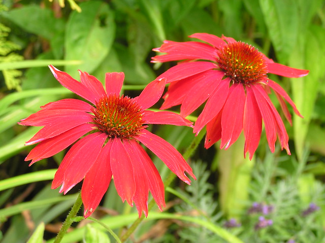 Echinacea purpurea 'Salsa Red'