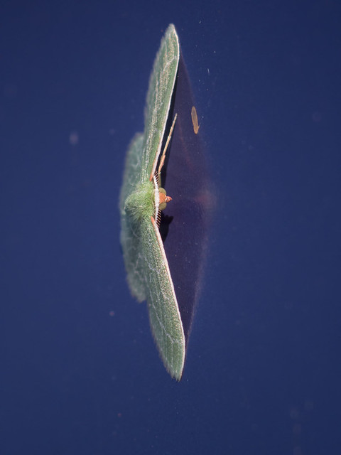 Wavy lined emerald moth(?)
