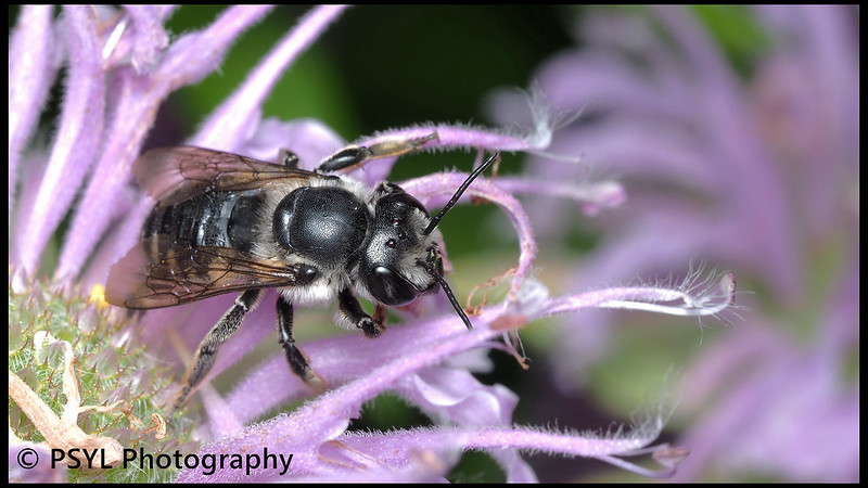 Megachilid bee on monarda